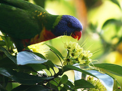 My morning wake~up call!! ({JO}) Tags: tree green bird nature leaves blossoms lorikeet rainbowlorikeet week5 naturesfinest goldenpenda 52weeksaboutu