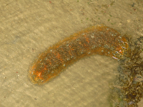 Ocellated Sea Cucumber (Stichopus ocellatus)