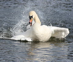 Woohoo! (Karen McWhirter) Tags: water swan bath bathing naturesfinest