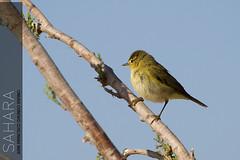 Pjaro (Juan Espino) Tags: bird sahara desert alas desierto pajaro volar sigmaaf70300mmf456apodgmacro slithor