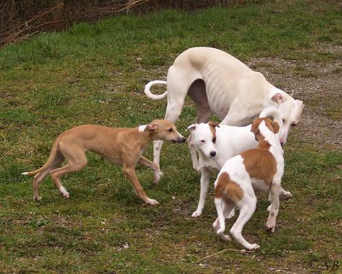 Whippets: Anukis und Quentin, Galgo: Annea, Paron Russell Terrier: Fee