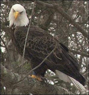 Pike Count PA Bald Eagle