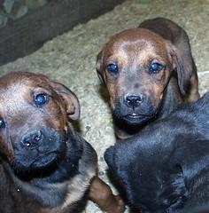 Mastweilers (muslovedogs) Tags: dogs puppy mastweiler zeusoffspring myladyoffspring