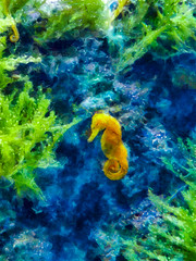 The Yellow Seahorse (Steve Taylor (Photography)) Tags: seahorse fish art digital blue green yellow water asia singapore plant aquarium underwater