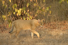 Jungle cat (dickysingh) Tags: ranthambore ranthambhore wild wilderness junglecat wildcat smallcat