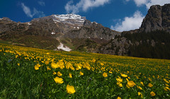 Buttercups in Madranervalley (Al Photonic (Allan)) Tags: switzerland uri d90 butterflowers absolutelystunningscapes madranervalley
