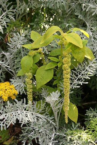 amaranthus viridis and centaurea gymnocarpa