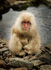 Snowy the Snow Monkey (Stuck in Customs) Tags: world travel snow cute water face japan river photography monkey blog high eyes furry friend asia dynamic stuck fuzzy snowy expression adorable posing human photograph april companion gazing gaze range nagano hdr trey travelblog customs 2010 anthropomorphic naganoprefecture snowmonkey chubu honshu naganoken  ratcliff  nagona honsh hdrtutorial stuckincustoms treyratcliff photographyblog naganoshi chbu stuckincustomscom nikond3x