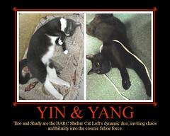 Yin & Yang - ADOPTED! (lisacat) Tags: cat tito shelter yinyang shady barc