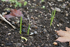 old garlic sprouts