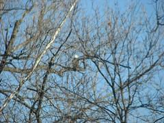 bald eagle 112907