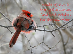 Seasons Greetings from the Heartland (Random Images from The Heartland) Tags: chris winter southdakota cardinal heartland bailey merrychristmas seasonsgreetings northerncardinal chrisbailey chrisbaileyimages