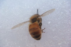 Dead bee on the snow