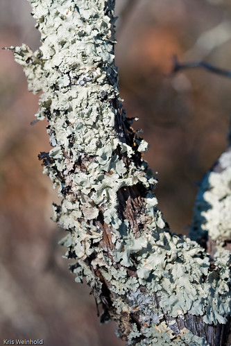 Winter Lichens