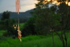 Sunbird (fleabitten55) Tags: sunbird nestbuilding