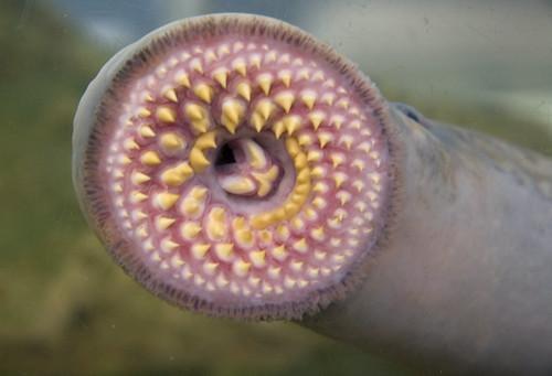lamprey