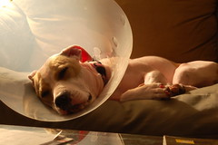 recuperating (Carrie Taylor) Tags: dog dogs lucy interestingness cone elizabethancollar americanstaffordshireterrier dangit carrietaylor happybirthdaylucy interestingness022408181