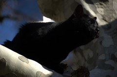 Black cat in Yvoire (olszuffka) Tags: black france tree cat yvoire