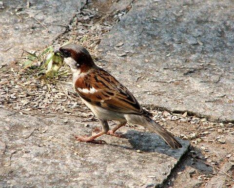 house sparrow with grasshopper kabini jlr 220208