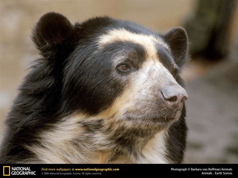 spectacled-bear.jpg