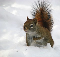 oooo....cold toes! (Nancy Rose) Tags: winter snow squirrel wildlife onwhite redsquirrel mywinners goldstaraward explorewinnersoftheworld