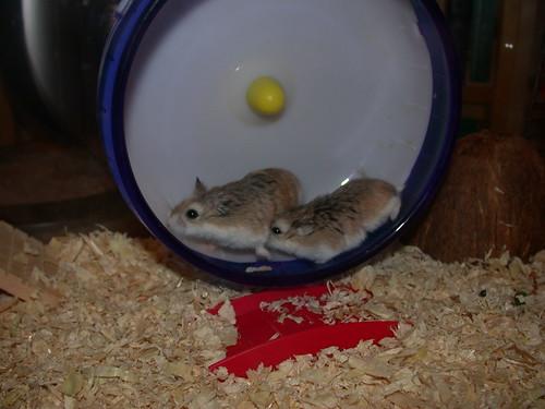 Racing turns violent on the wheel! ( Roborovski Hamsters) by roborovski hamsters.