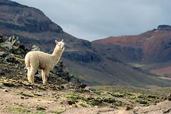 Alpaca, Nevado Mismi, Peru