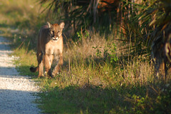 Florida Panther (Frank Shufelt) Tags: wild nature animals wildlife pumas panthers endangered mammals cougars floridapanther pumaconcolorcoryi