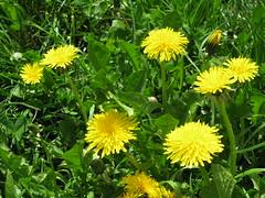 IMG_3119 (widergaenger_1) Tags: blume flowerpower lwenzahn