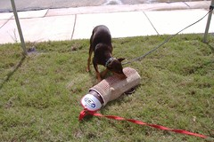 sleeve 007 (clovergecko1) Tags: doberman guinevere dobermann schutzhund bitesleeve bitework guineveredoberman