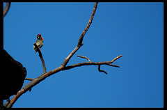 Please, mom (Ezhil Ramalingam) Tags: bird noodles birdwatcher coppersmith anawesomeshot ysplix crimsonbreastedbarbet