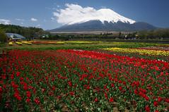 Mt. Fuji and Tulip (Yoichi_) Tags: flowers mountain japan geotagged nikon tulip 富士山 mtfuji d300 チューリップ 山梨 花の都公園 geo:lat=354389233 geo:lon=1388526544