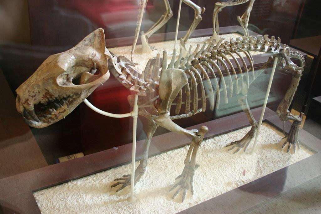Hyaenodon American Museum Of Natural History
