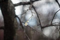 _DSC1714 (kymarto) Tags: bokeh bokehlicious depthoffield dallmeyer dof odawara oldlens vintagelens plumblossoms ume supersix nature naturephotography nikon nikond800 flowers f