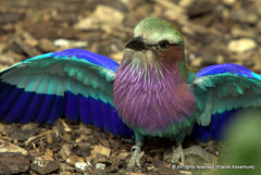Colorful ({ Planet Adventure }) Tags: portrait bird wow photography bravo roller thebest londonzoo digitalphotography holidayphotos travelguide travelphotography digitalworld intrepidtraveler traveltheworld planetadventure canonef70200mmf28lisusm colorfulworld worldexplorer amazingplanet colorphotoaward intrepidtravel alessandrobehling topphotography holidayphotography spiritofphotography colorfulearth photographyhunter photographyisgreatfun