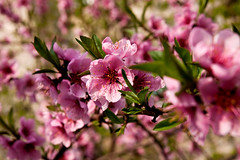 spring explosions (ion-bogdan dumitrescu) Tags: flowers flower tree cherry blossom blossoms romania bucharest bitzi mg0112 ibdp ibdpro wwwibdpro ionbogdandumitrescuphotography