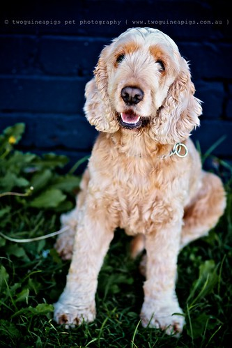 Cocker Spaniel Buddy by twoguineapigs pet photography, dog portrait