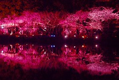 Sakura Night (love_child_kyoto) Tags: friends flower night spring nikon kyoto searchthebest illuminated   cherryblossoms lightup  1001nights     fullbloom  heianjingushrine  masterphotos    1001nightsmagiccity  searchthebestnew  sakuralitup