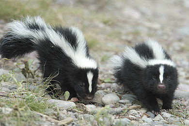 Two curious baby skunks