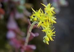 Pacific Sedum (forestbloom) Tags: california ca northerncalifornia yellow auburn crassulaceae sedum asra placercounty stonecrop sedumspathulifolium 5petals quarrytrail auburnsra pacificsedum