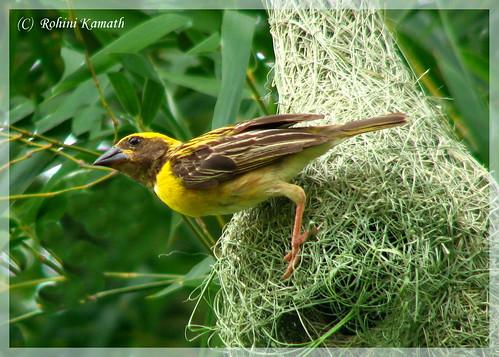 Weaver Bird - Baya
