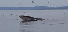 Fin Whale feeding
