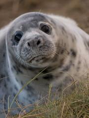 PC057587.jpg (Hiding_Pup) Tags: seals donnanook