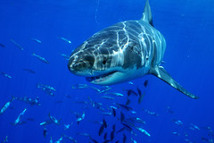 Black eyes warm Blood (ScottS101) Tags: white mexico shark pacific great jaws baja guadalupe predator allrightsreserved bestofnature retia mirablia copyrightscottsansenbach2008