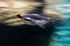 Koningspinguin op snelheid (KennethVerburg.nl) Tags: speed swimming zoo penguin aquarium rotterdam blijdorp pinguin dierentuin zwemmen snelheid oceanium