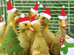 Ho Ho Ho (birdyboo) Tags: christmas ducks ducklings picnik hohoho ff1 indianrunner featheryfriday aswpix featheryfriday1