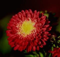 Seasons Greeting (Swami Stream) Tags: red india flower gardens canon botanical rebel bangalore karnataka swami lalbagh swaminathan naturesfinest blueribbonwinner xti swamistream swamistreamcom