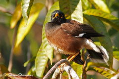 Art of seeing ( Indian myna ) (shivanayak) Tags: india shiva karnataka  shivanayak 2007 shivashankar