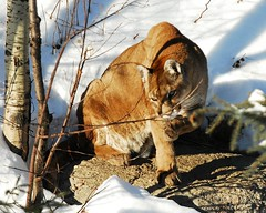 Cougar (Rock Arsenault) Tags: faune nginationalgeographicbyitalianpeople
