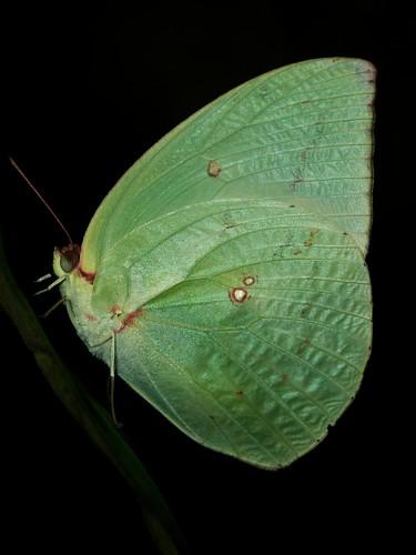 greener b'fly